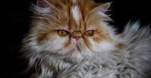 Los gatos persas son los perfectos compa§eros para personas tranquilas(Pixabay)