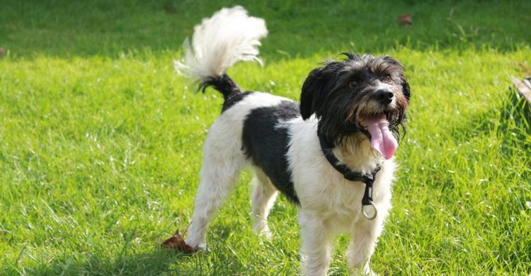 No le cortes el rabo a tu perro (Foto: iStock)