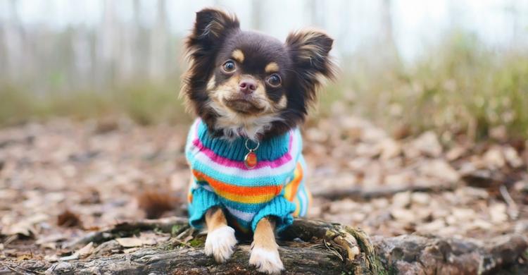 Aunque el chihuahua tenga fama de nervioso es ideal para un piso pequeño (Foto: iStock)
