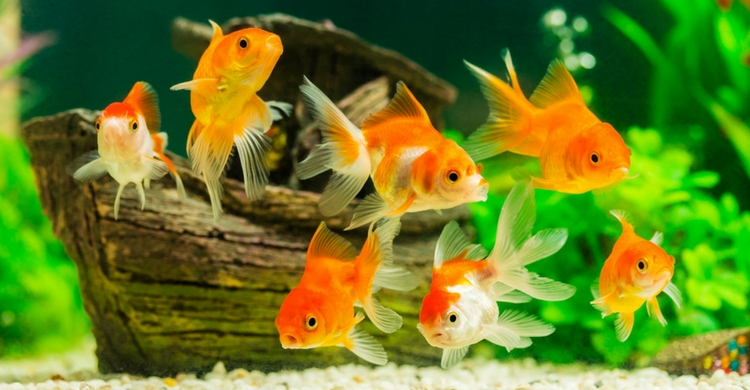 Los peces de agua dulce son muy fáciles de mantener (Istock)