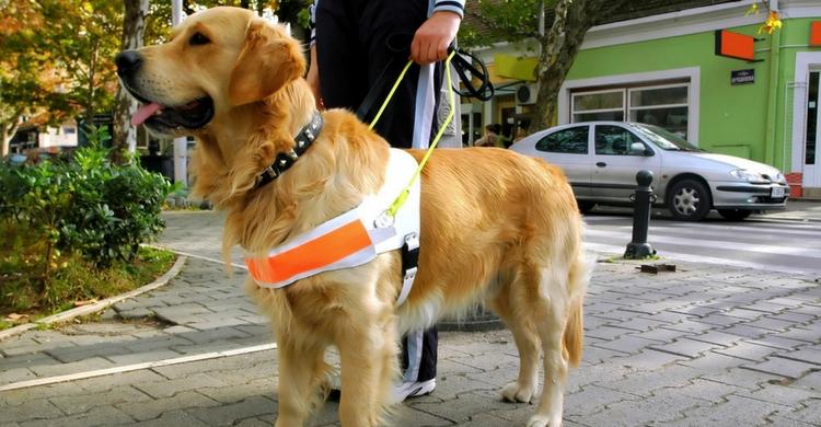 El perro guía y lazarillo suponen una gran ayuda a personas con discapacidad (Istock)