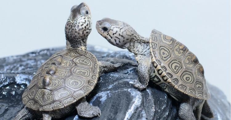 La tortuga alcanza la madurez sexual a los 7 años (Istock)