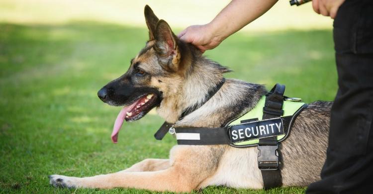 Los perros de seguridad son adiestrados desde su nacimiento (Istock)
