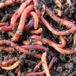 Las lombrices y gusanos (Istock)