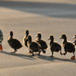 3. Siguiendo a mamá pato (Istock)
