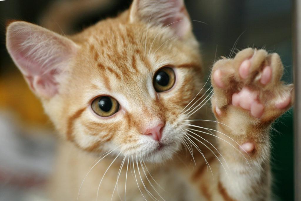 En el mercado hay alimentación para gatos de carácter vegano o vegetariano (Foto: iStock)