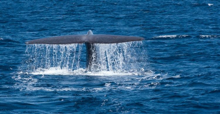 Las ballenas son los únicos animales en los que se diferencia el hecho de ser zurdos o diestros (Istock)