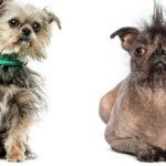 Concurso de los perros más feos del mundo (Istock)
