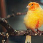 El canario (Istock)