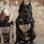 Si tu perro es de una raza potencialmente peligrosa (Istock)