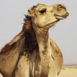 El embarazo en camellos dura un más de un año (Unsplash)