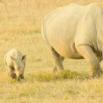 Los rinocerones se hacen de rogar (Unsplash)