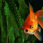 Pez goldfish (Foto: iStock)