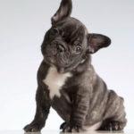Bulldog francés (Istock)