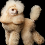 Corte de pelo esponjoso en patas y rabo