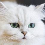 Los gatos persa blancos tienen una belleza impresionante (iStock)