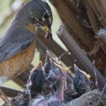 En estado natural las madres alimentana los pichones (iStock)