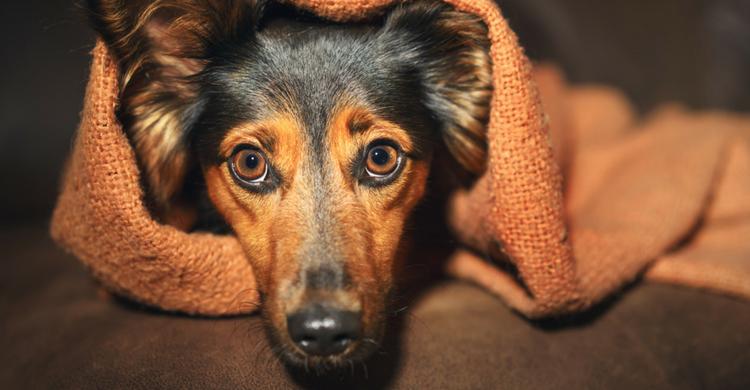 Los perros pueden sufrir ansiedad (Istock)