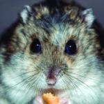 Hay que cuidar los delicados y pequeños estomagos de los hamsters (Pixabay)