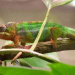 El camaleón (Foto: iStock)