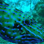 El pez lima narigudo tiene un espectacular colorido (Foto: iStock)