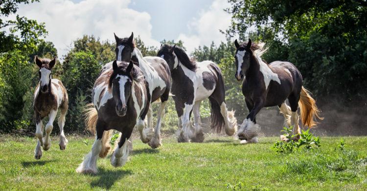 El caballo gitano es una de las razas más peculiares del mundo (Foto: iStock)