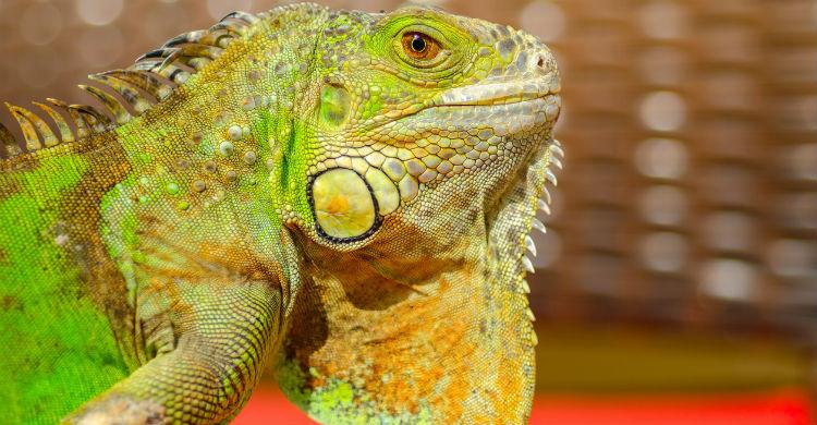 Aunque otros reptiles coman insectos, no pruebes a dárselos a tu iguana (Foto: iStock)
