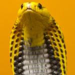 2. Cobra filipina (iStock)
