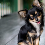 Chihuahua (Istock)