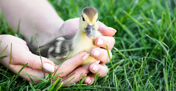 El pato necesita un hábitat en el que poder moverse con facilidad y casi libertad (Foto: iStock)
