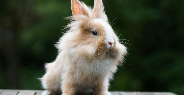 Aprende bien las maniobras necesarias para salvar a tu conejo (Foto: iStock)