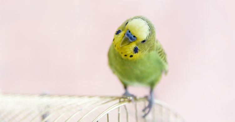 El origen de los periquitos está en Australia (Foto: iStock)