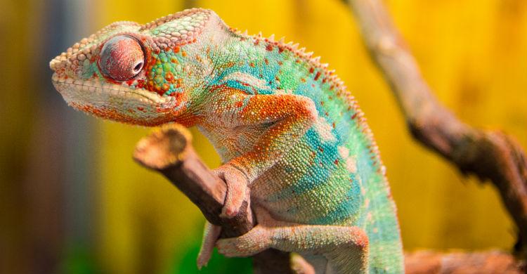 Un espacio húmedo y con la luz adecuada es imprescindible para el camaleón (Foto: iStock)