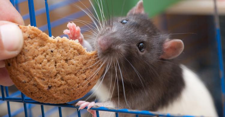 Cuidado con los alimentos que le das a tu rata (iStock).