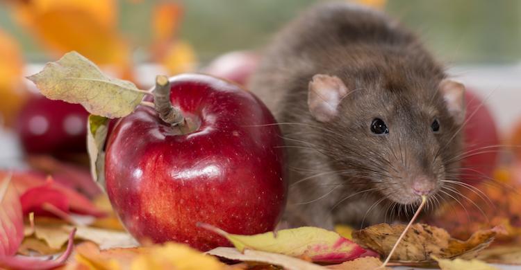 Las ratas pueden comer manzanas y ciertas frutas (iStock).