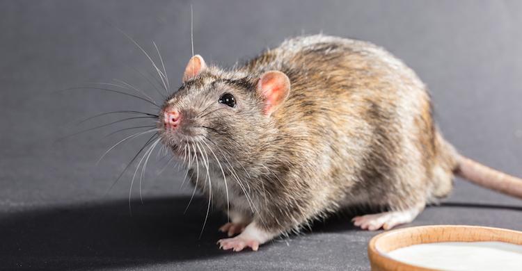 La alimentación de las ratas debe cuidarse para garantizar su salud (iStock).