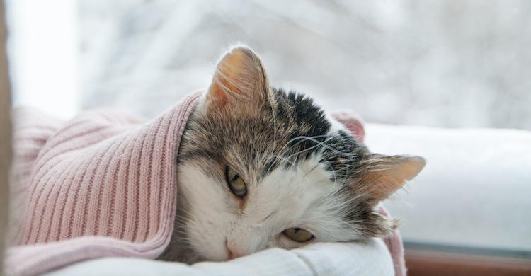 Uno de los animales afectados por la tiña son los gatos (iStock).