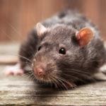 4. Ratas (iStock)