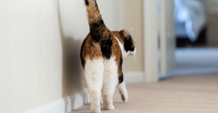 No ignores las señales que te manda tu gato sobre una posible lesión (Foto: iStock)
