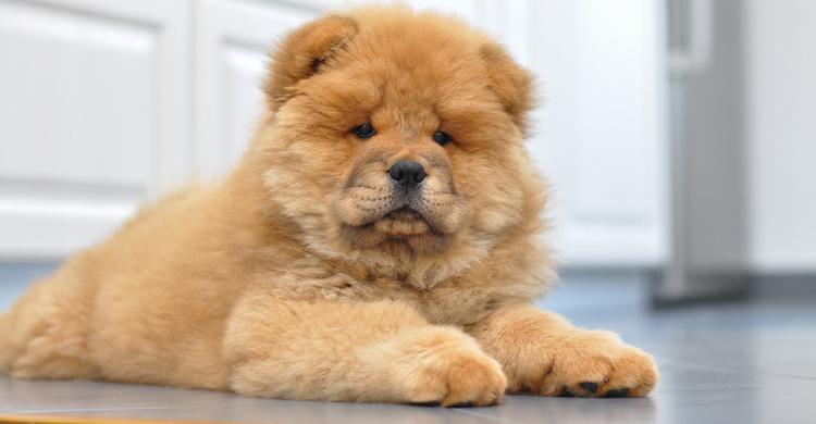El chow chow es un perro originario de China (iStock).