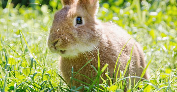 Los dientes de los conejos no dejan de crecer nunca (iStock).
