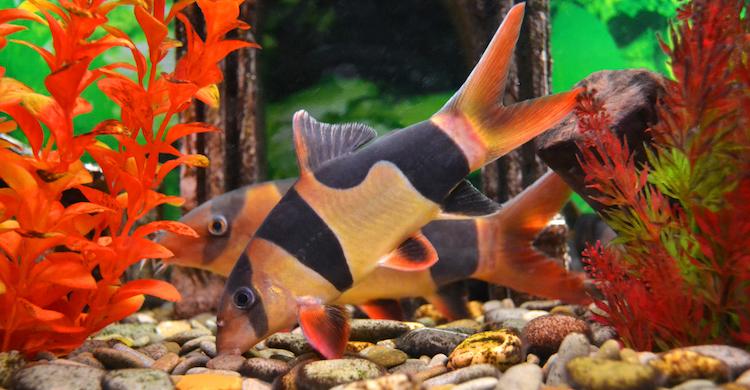 El pez botia es uno de los más longevos del acuario (iStock).