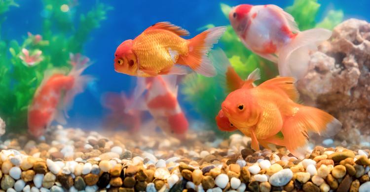 Es importante vigilar el aspecto y comportamiento de tus peces para saber si se encuentran bien (iStock).