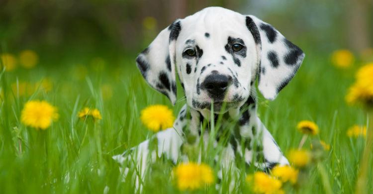 El dálmata es uno de los perros más carismáticos (Foto: iStock)