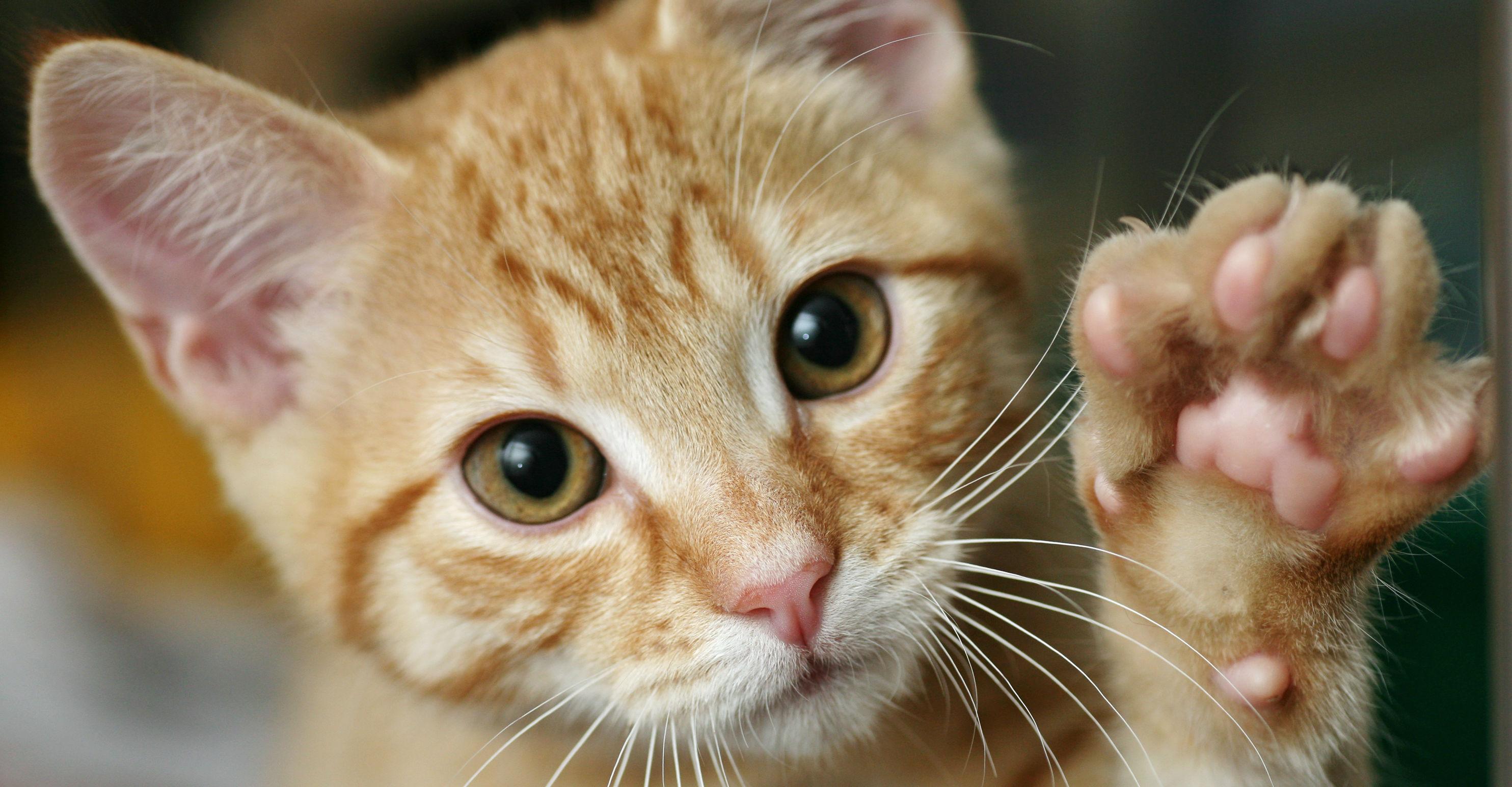Al igual que ocurre con las mujeres, las gatas pueden sangrar tras el parto o sufrir un aborto (Foto: iStock)