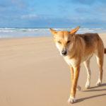 Estos canes son conocidos como dingos americanos o perro de Carolina (iStock).
