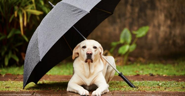 ¿Sabías que existen paraguas para perros? (Istock)
