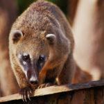 El coatí, una mascota propia de América Latina (iStock).