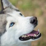 Los huskies se consideran perros fieles y se utilizaron en el pasado como perros guardianes (iStock).