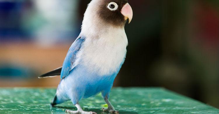 Está considerado el pájaro 'del amor' porque vive en pareja (Foto: iStock)